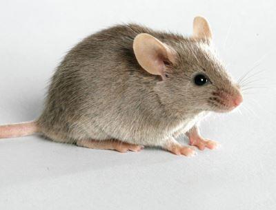 Eliminar ratas ratones valencia erradicar plagas grupo - Ratones en casa eliminar ...